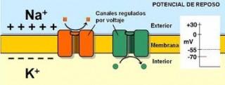 La Electricidad de la membrana posee un determinado voltaje conocido como